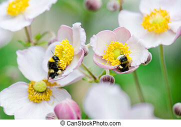 a bee collects pollen from flower, close-up