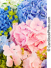 blue and pink hydrangea - still life with blue and pink...