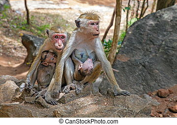 Macaque - Two Macaque monkey mothers with their cute babies.