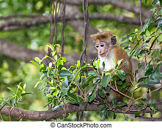 Macaque - Young macaque monkey sitting on a tree in Sri...