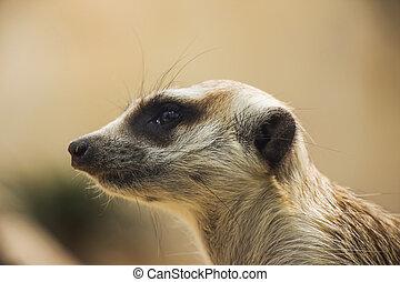 Meerkat Close Up Portrait