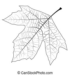 Sycamore Autumn Leaf - Design element - high detailed...