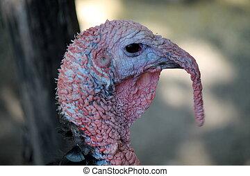 bronzed turkey