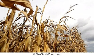 corn  - summer young corn field