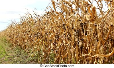 corn field - summer young corn field