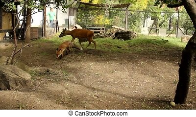 fox - foz animals in the farm