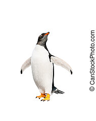gentoo penguin over white background