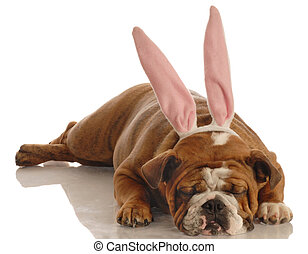 dog dressed as easter bunny - english bulldog wearing bunny...