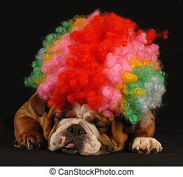 dog clowning around - english bulldog dressed up with clown...