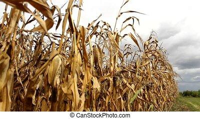 corn - cloudy summer fields