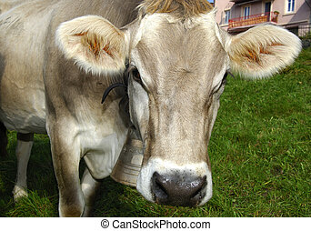Hornless Brown cattle - Hornless Swiss Brown cattle looking...