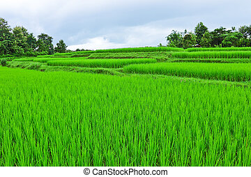Young rice field on beginning rainy season on cloudy day