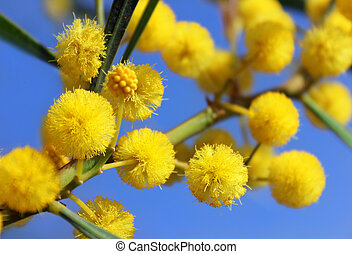 fluffy balls of blooming mimosa as spring background