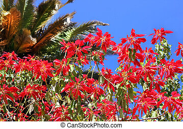 red flowers of mediterranean acacia against the blue sky and...