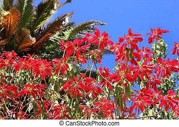 Mediterráneo, flores,  Acacia, rojo