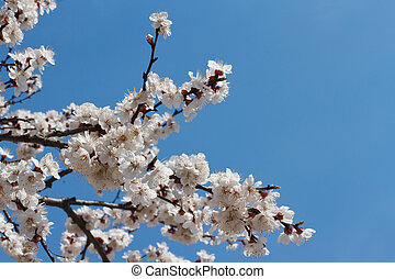 fruit tree blooms in spring with white flowers