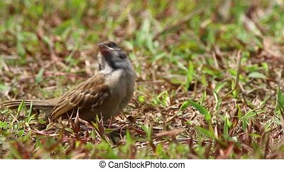 House Sparrow - Close up shot of a house sparrow at noon in...