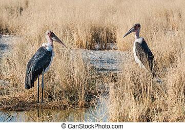 Marabou Storks - A couple of Marabou Storks in Etosha,...