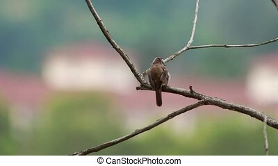 Yellow Vented Bulbul  at 1120mm