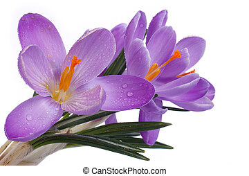 Blue flowers of spring Crocus isolated on a white background...