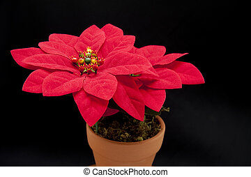 Red Christmas flower on black background