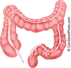 Human intestine anatomy - vector illustration of Human...