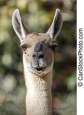 Guanaco, Lama Guanicoe - Llama, South American camelid,...