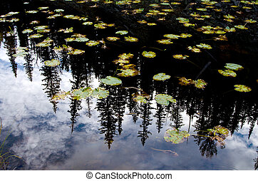 Lilly pads and pine tree reflection in small lake in...