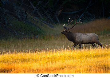 Bull Elk at Sunrise in Yellowstone National Park - Bull elk...