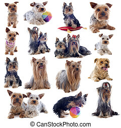 yorkshire terriers - purebred yorkshire terriers in front of...