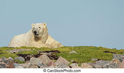 Polar Bear on the grass 1