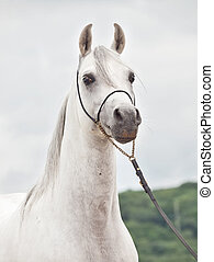 white wonderful arabian stallion