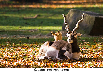 Indian antilope or Blackbuck - Blackbuck or Indian antilope...