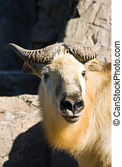 Tibetan takin or Sichuantakin is a goat-antelope, living in...
