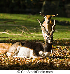 Blackbuck or Indian antilope, male and females