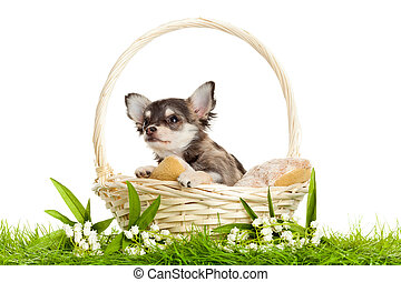 lChihuahua puppies ovely puppy s portrait of puppies in a...