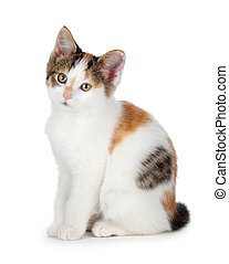 Cute calico kitten on a white background. - Cute calico...