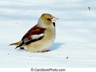 Birds Altaya - Grosbeak eats red berry on snow in garden...