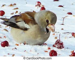 Birds Altaya -  Grosbeak eats red berry on snow in garden