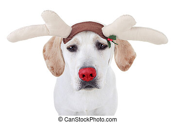 Christmas Reindeer - Funny Christmas red nosed Labrador...
