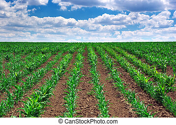 Green meadow of rows