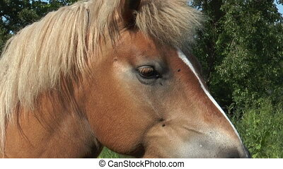 Beautiful haflinger horse closeup