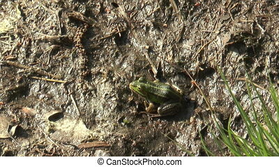 moor frog jumping away