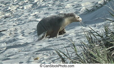 young sea lion climbing up dunes - young sea lion climbing...