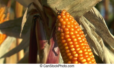 corncob (Maize) closeup - corncob in corn (maize) field...