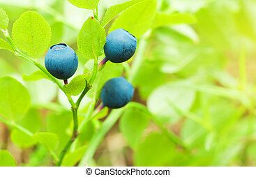 Bilberry berries in growing in wood. Nature composition.