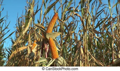 corn (maize) plants closeup