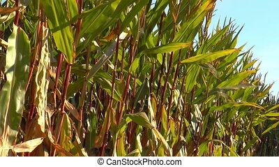 corn (maize) plants swaying in the wind. In Germany corn is...