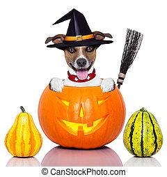 halloween dog as witch - halloween dog inside a pumpkin...