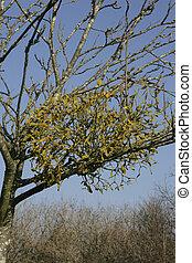 Mistletoe, Viscum album, Gloucestershire